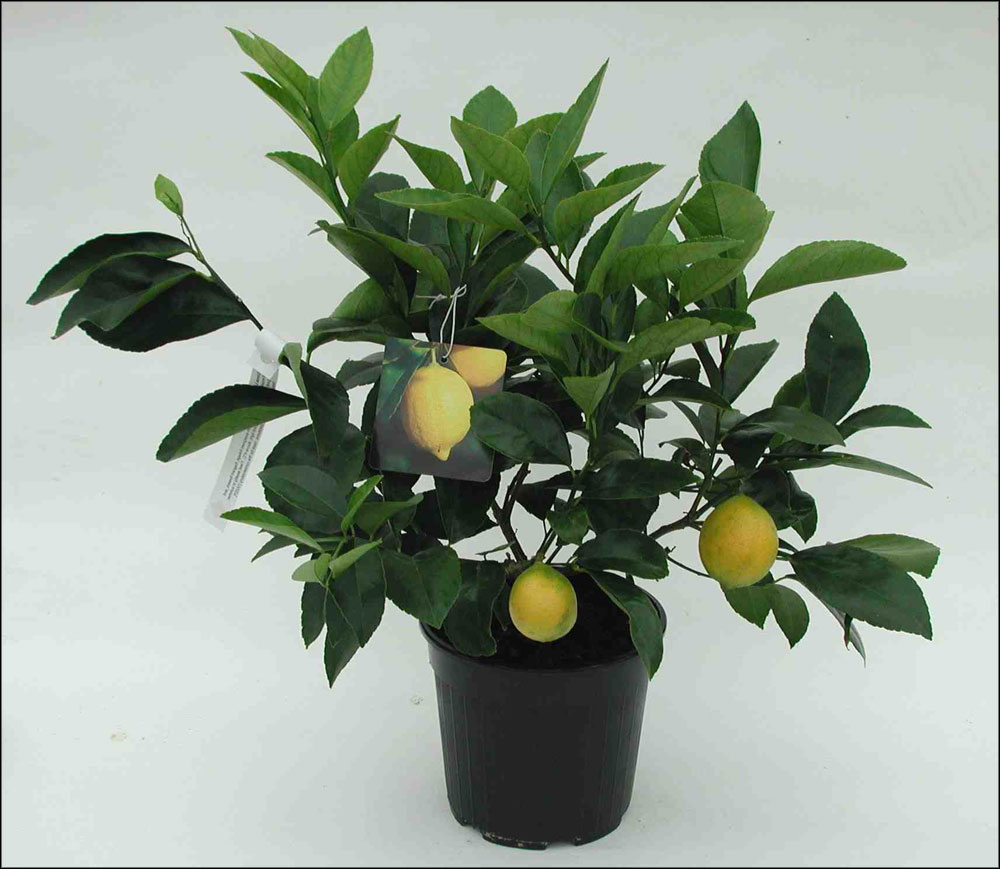 indoor citrus trees for home office