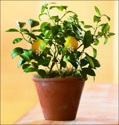 organic indoor dwarf citrus meyer lemon trees